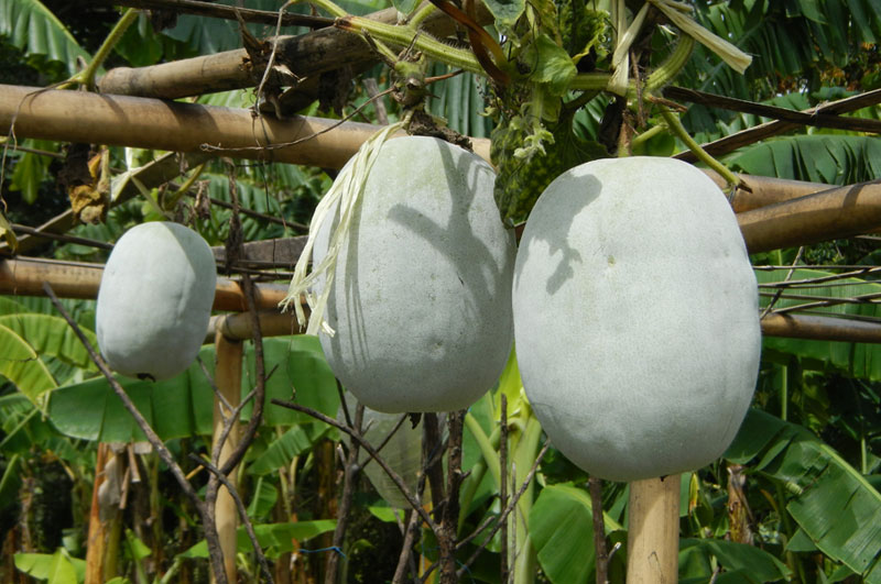 Food Wiki : What is Winter Melon?